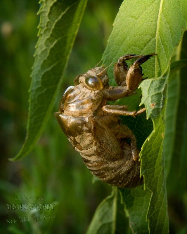 Back_Forty_Summer_8604-Cicada