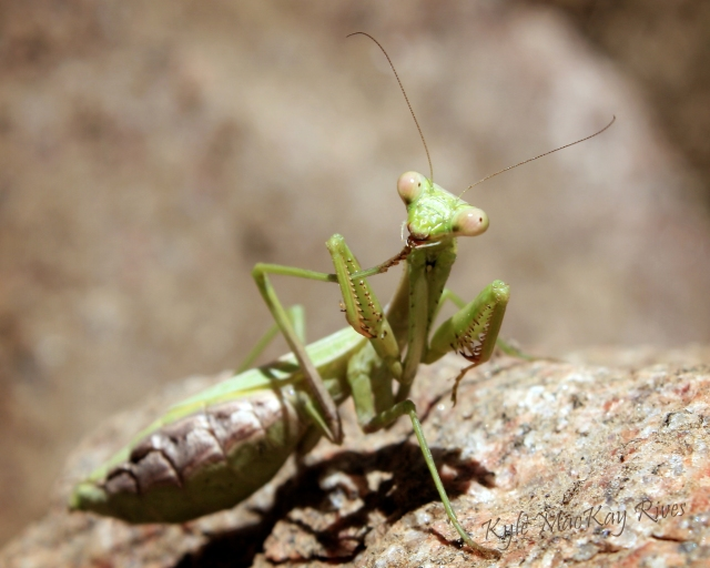 Back_Forty_prayingmantis_6290