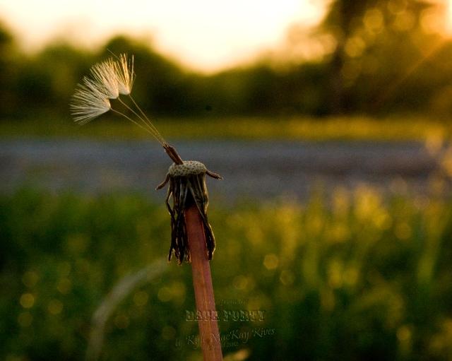 Back_Forty_Spring_2012_0403_0210_DandelionFluff