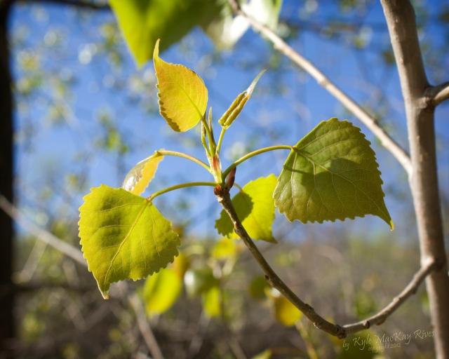 Back_Forty_Spring_2012_9469_Cottonwood