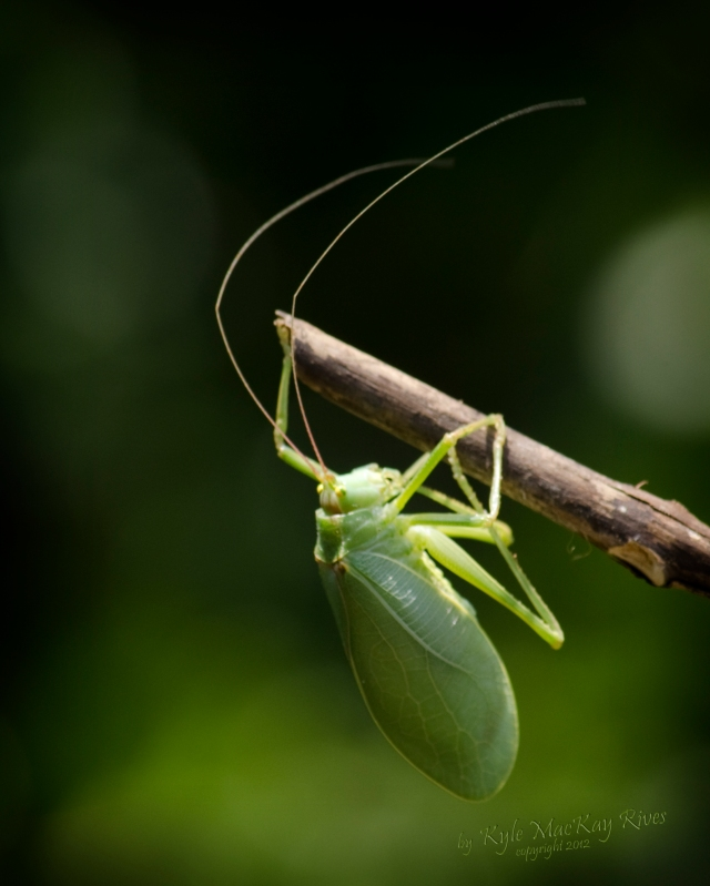 Back_Forty_Spring_2012_0921_Katydid