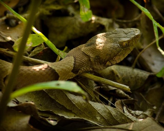 Back_Forty_Spring_2012_0901_Copperhead_snake