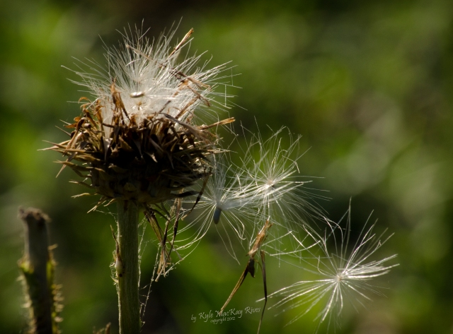 Back_Forty_Summer_2012_0076_thistle