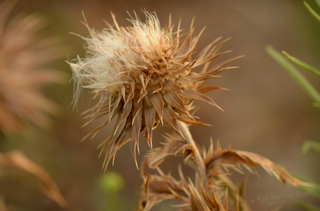 Back_Forty_Summer_2012_0285_thistle