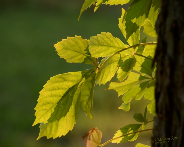 Back_Forty_Summer_2012_0308_Virginia_Creeper