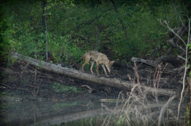 Back_Forty_Summer_2012_0367_Coyote
