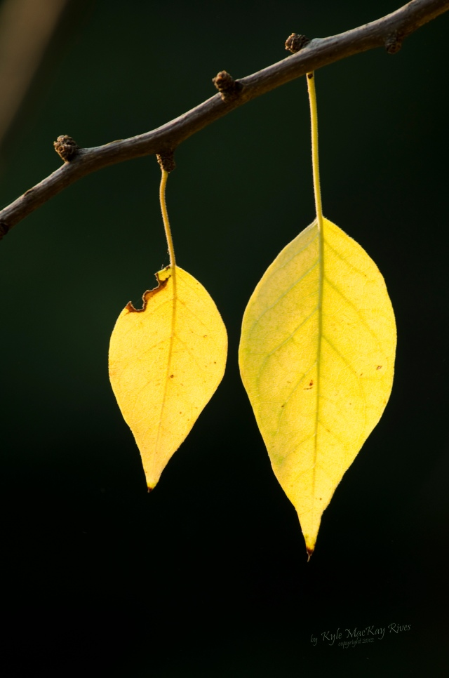 Back_Forty_Summer_2012_0431_yellow_leaves