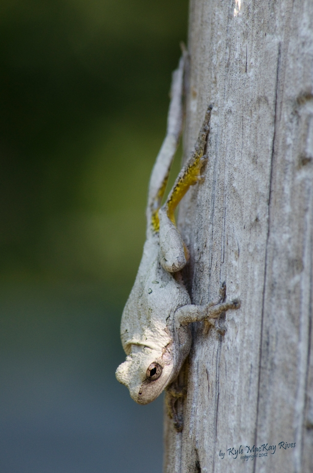 Back_Forty_Summer_2012_0438_tree_frog