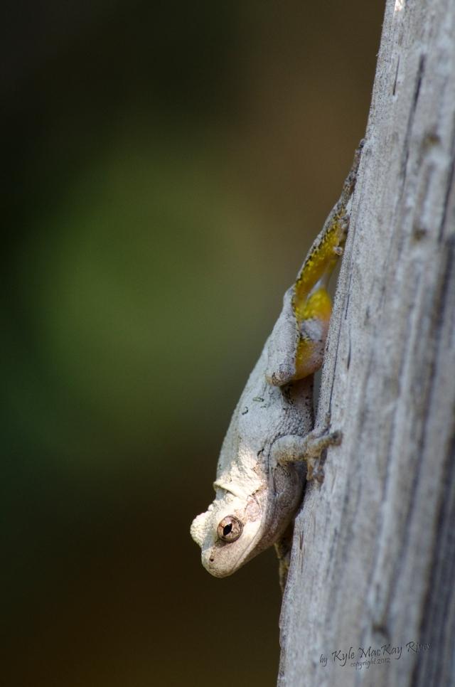 Back_Forty_Summer_2012_0441_tree_frog