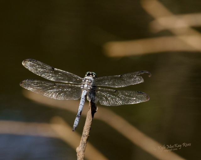 Back_Forty_Summer_2012_August_1003_dragonfly