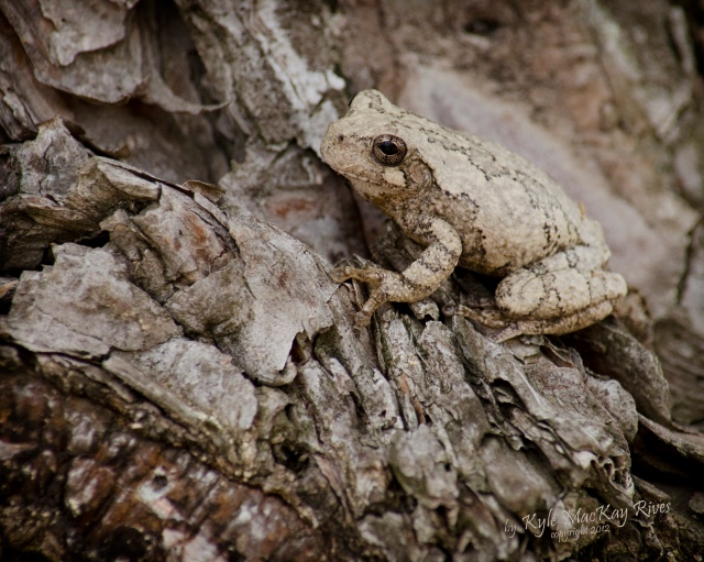 Back_Forty_Summer_2012_August_5_1055_tree_frog