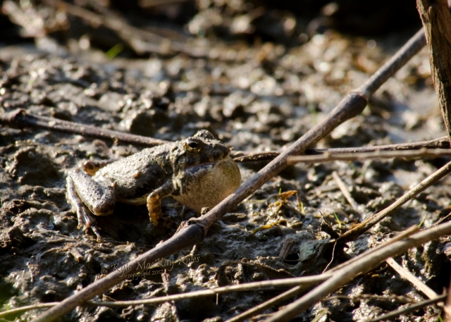 Back_Forty_Summer_2012_July_22_0948_toad
