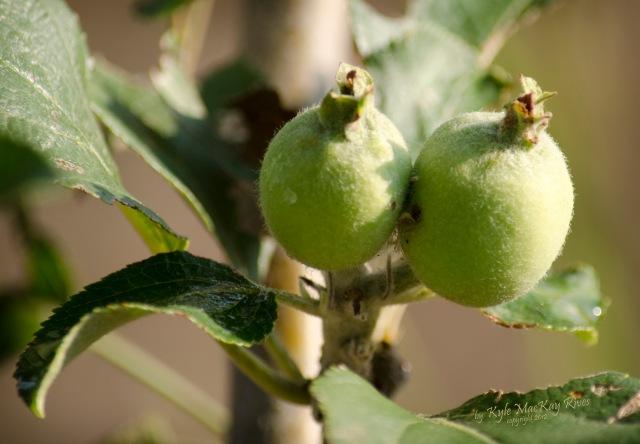Back_Forty_Fall_2012_September_23_0148_apples