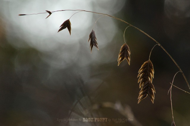 Back_Forty_Fall_2012_Oct_21_0030_Grass_seeds