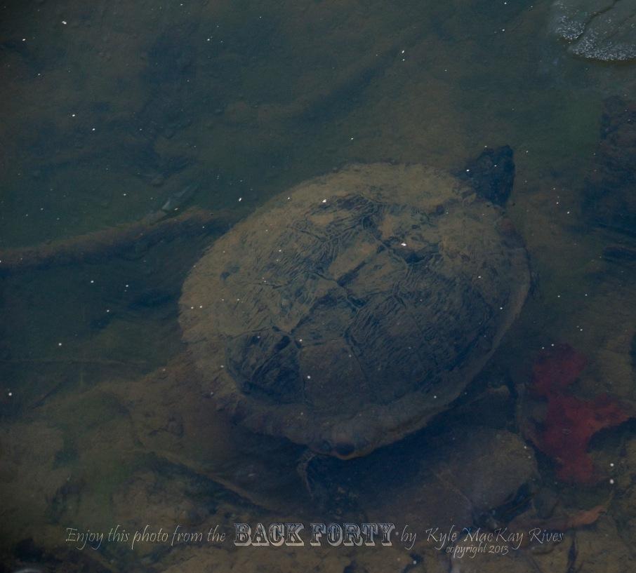 back_forty_winter__january_2_2013__0045_turtle.jpg