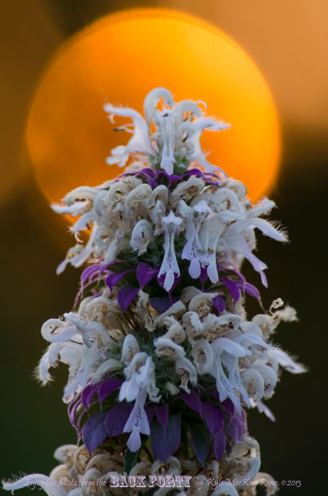 Meet the Horsemint
